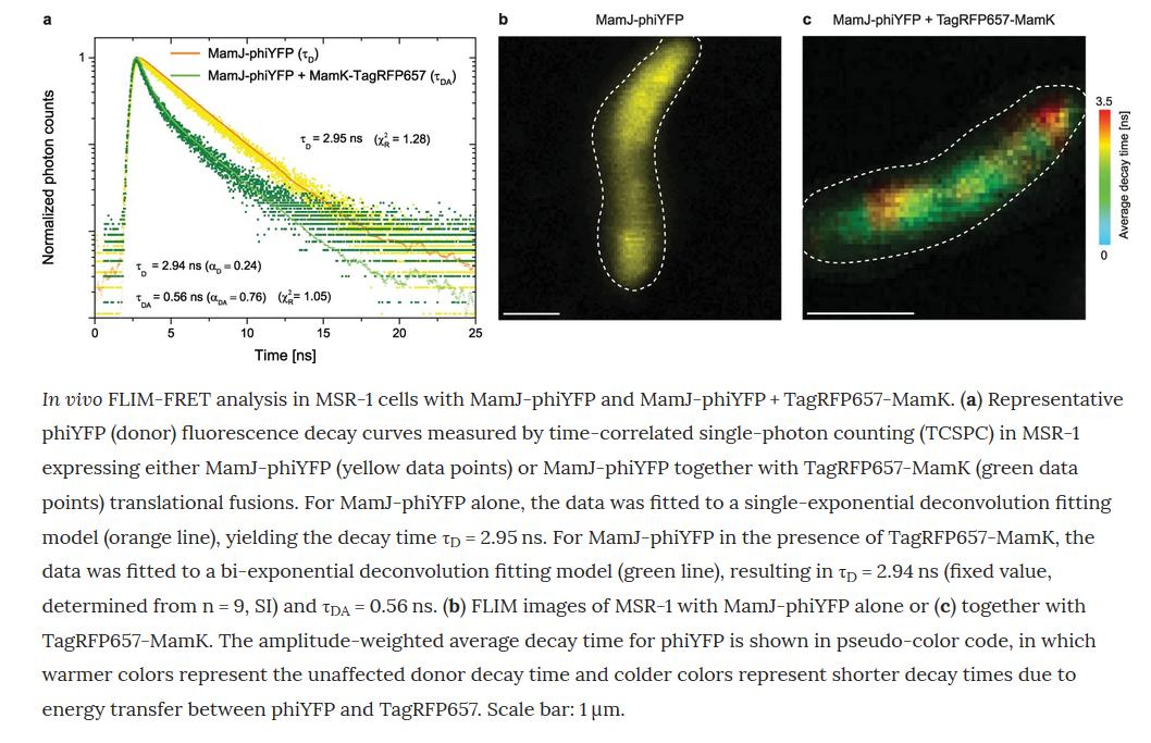 """Новости технологий: В журнале Nature опубликована работа по совмещению FLIM-FRET и STED микроскопии in vivo с использованием новой FRET пары: """"STED-FLIM-FRET in vivo""""."""