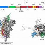 Новости технологий: Американские молекулярные биологи получили изображение трехмерной структуры белковой оболочки коронавируса 2019-nCoVметодом криоэлектронной микроскопии